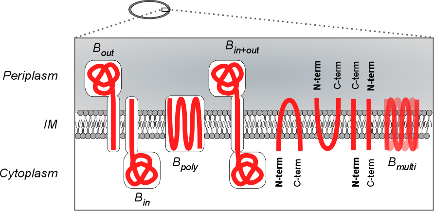 Bacterial cell cartoon of inner membrane topology
